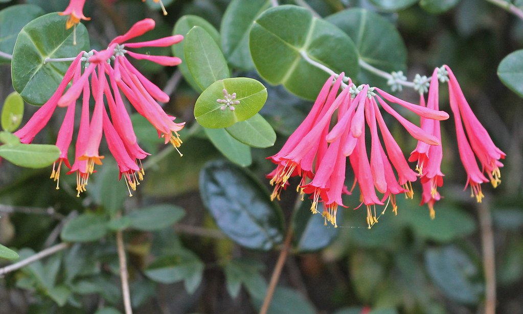 Coral honeysuckle plants