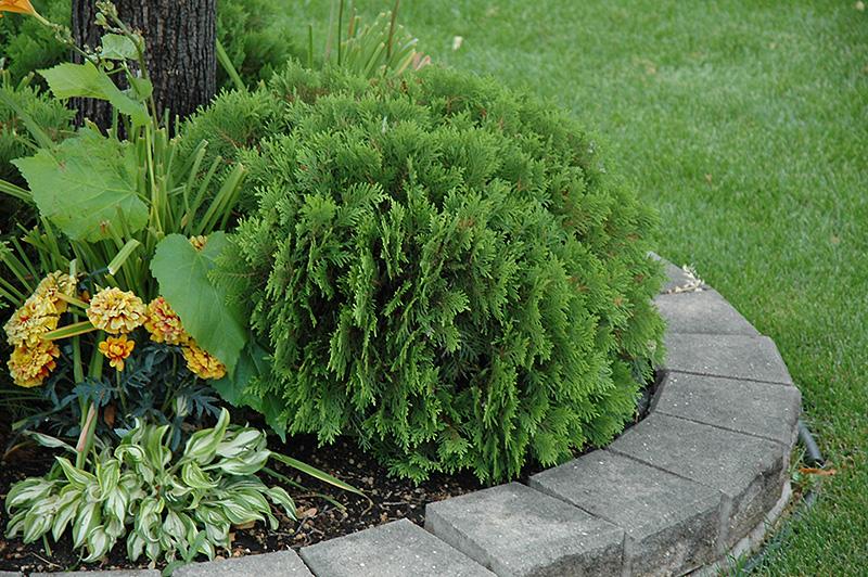 Arborvitae plant