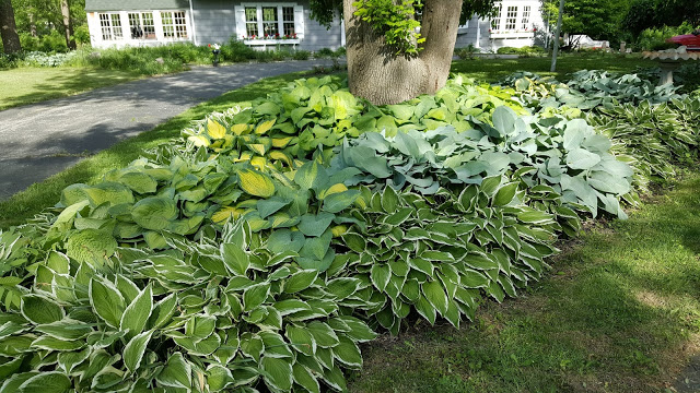 large patch of Hostas in the front yard of a home property